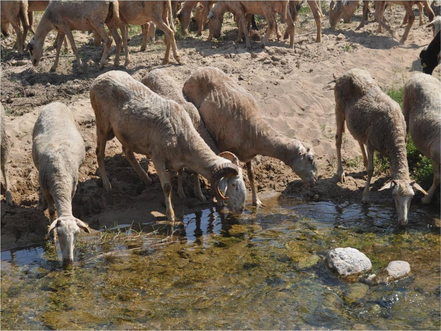 """Kırklareli'nin """"Kıvırcık Kuzu""""su tescilleniyor"""