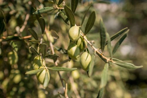 Zeytin ihracatı rekor tazeledi