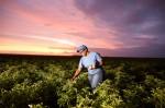 PepsiCo yenileyici tarım uygulamalarını 28,3 milyon dönüme çıkaracak