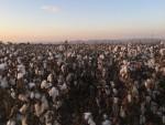 Tchibo sürdürülebilir pamuk üretimini destekliyor