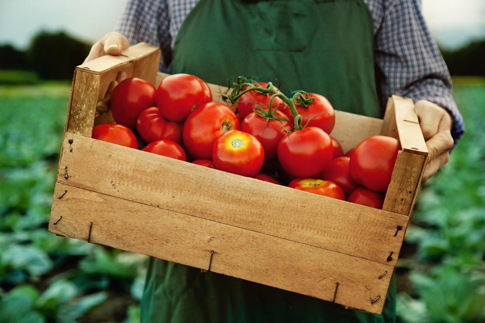 Rusya'ya domates ihracatı yüzde 186 arttı