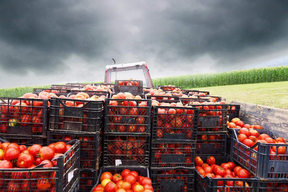 TİM uyardı: Rusya'ya domates ihracatında sorun yaşanmasın