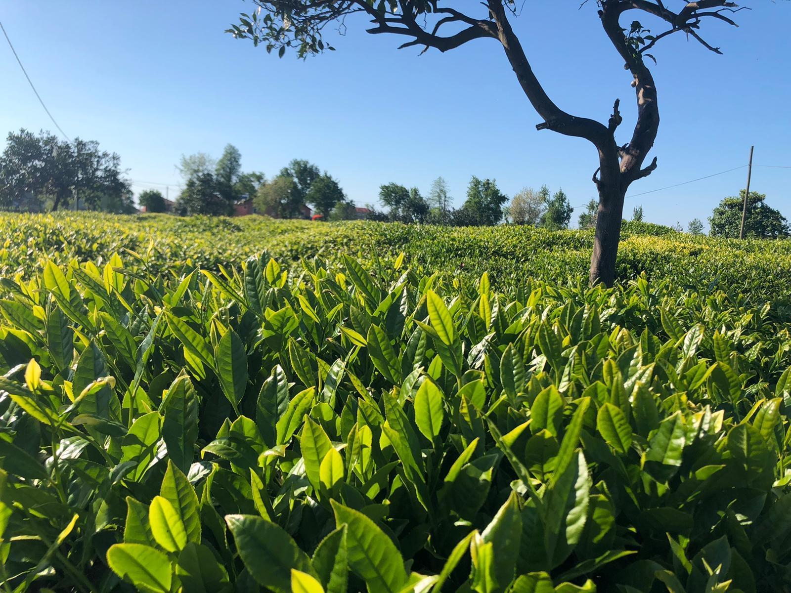 """Lipton'un hasat planı """"Çayımız için hep birlikte"""""""